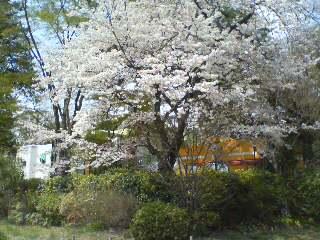 三鷹の森、井の頭公園は桜満開